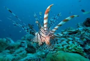 01-Rotfeuerfisch