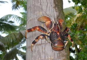 Cocos-Krabbe