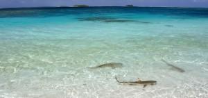Haie in der Lagune