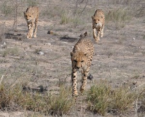 Geparden - geballte Kraft ...