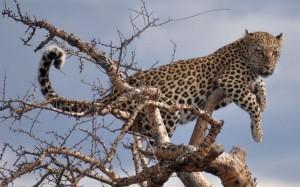 ... und Überlegenheit (Leopard)