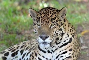 Jaguar - immer wachsam