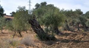 ... und uralte Olivenbäume